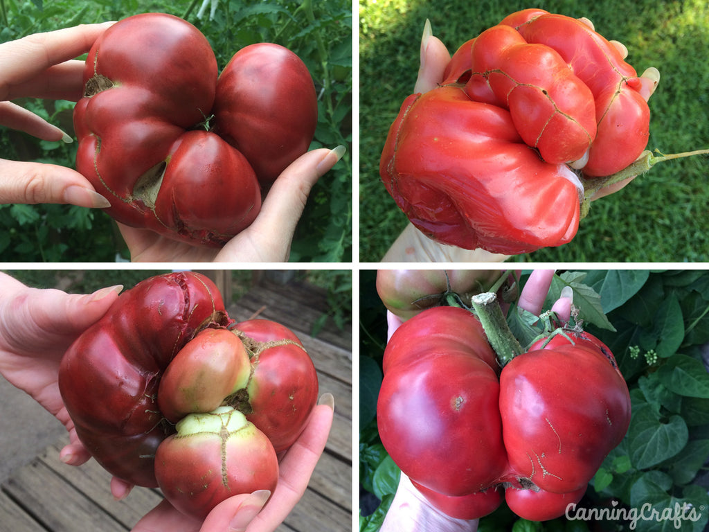 Garden 2019: Black Krim & Mushroom Basket Tomatoes with Catfacing | CanningCrafts.com