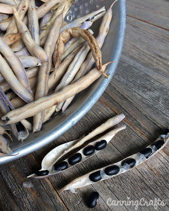 Garden 2019: Black Turtle Beans | CanningCrafts.com