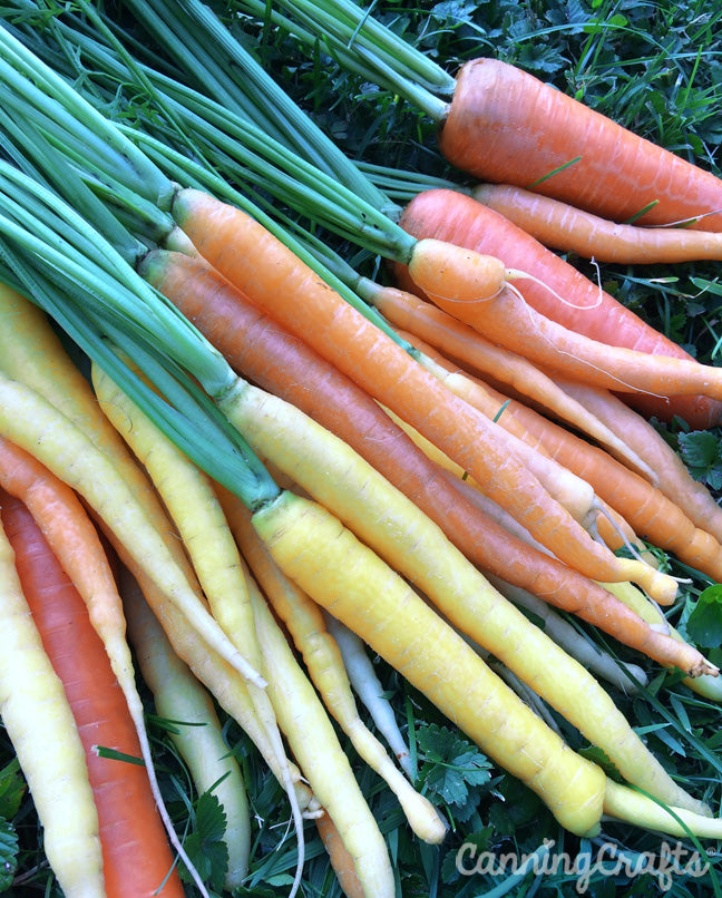 Garden 2019: Rainbow Mix Carrot Harvest | CanningCrafts.com