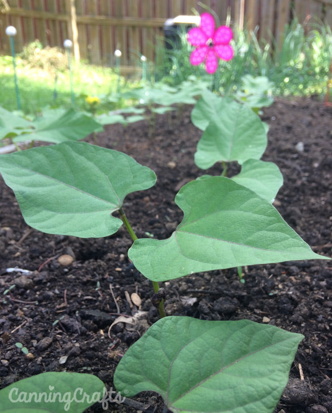 Garden 2019: Red Swan & Black Turtle Green Beans | CanningCrafts.com