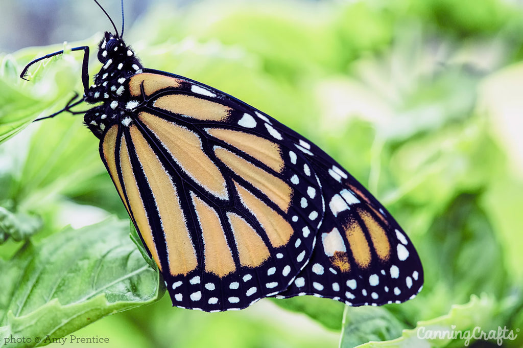Monarch Butterfly on leaf | CanningCrafts.com