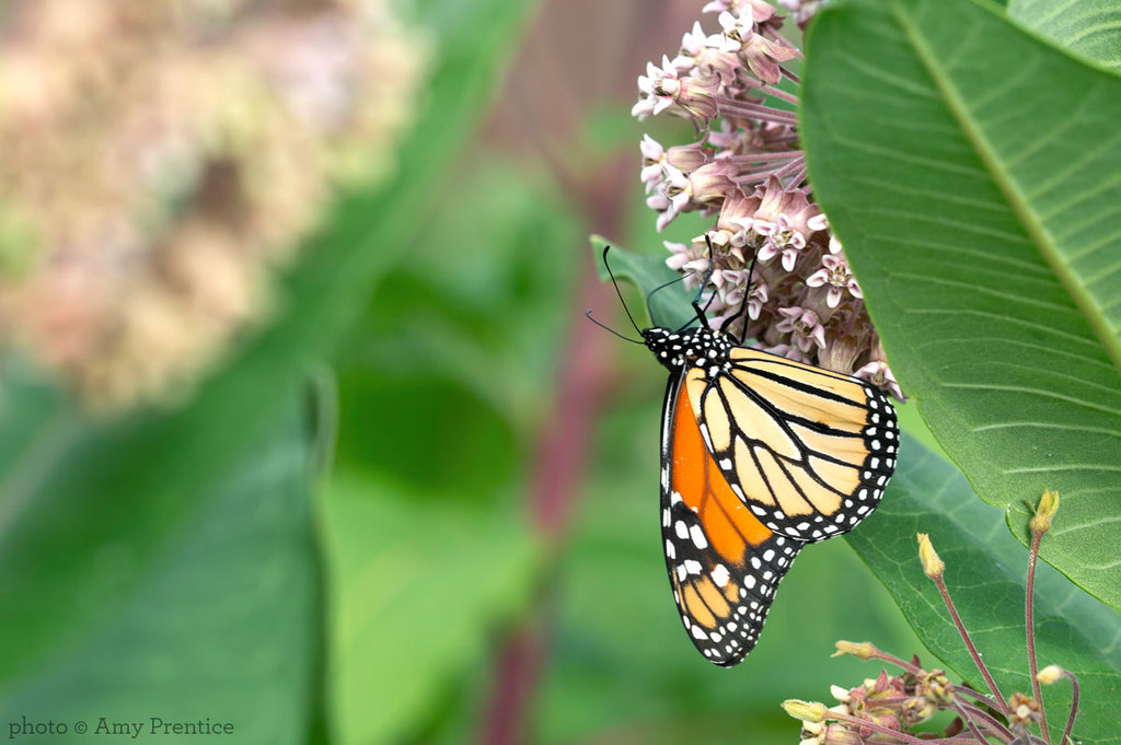 Monarch Butterfly on Milkweed | CanningCrafts.com