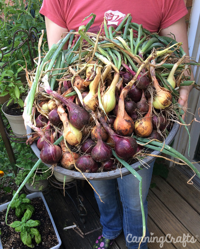 Garden 2019: Onion Harvest | CanningCrafts.com