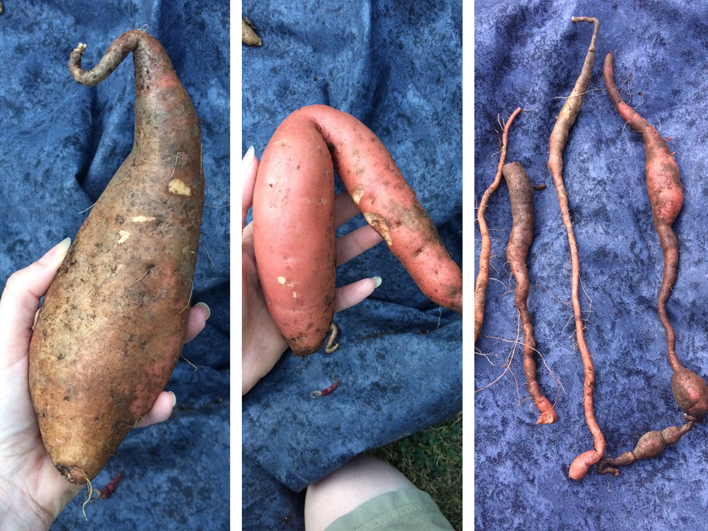 Garden 2019: Growing & Harvesting Sweet Potato | CanningCrafts.com