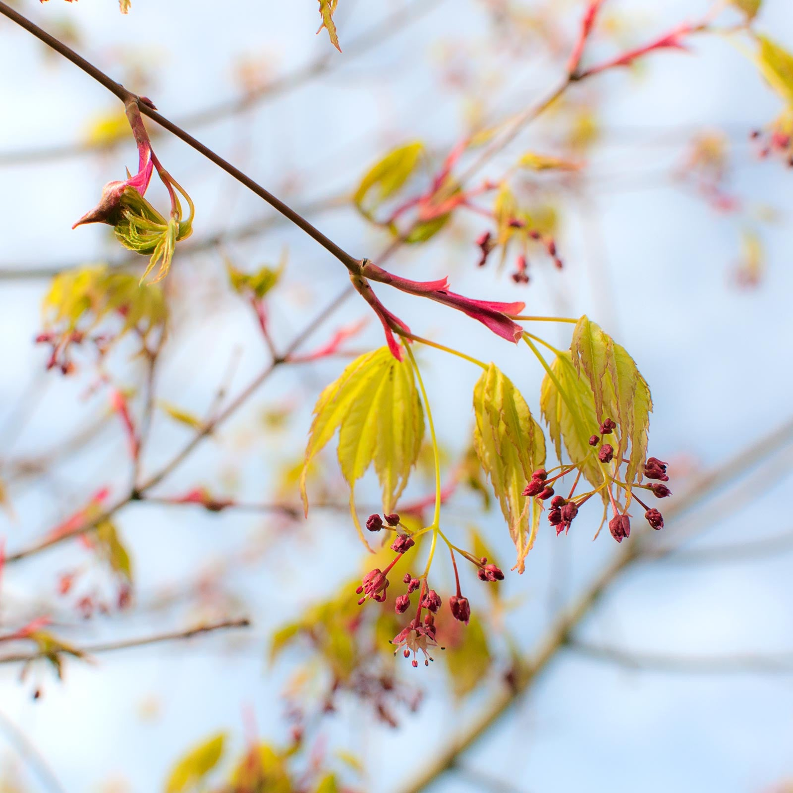 Acer leaves unfolding in spring