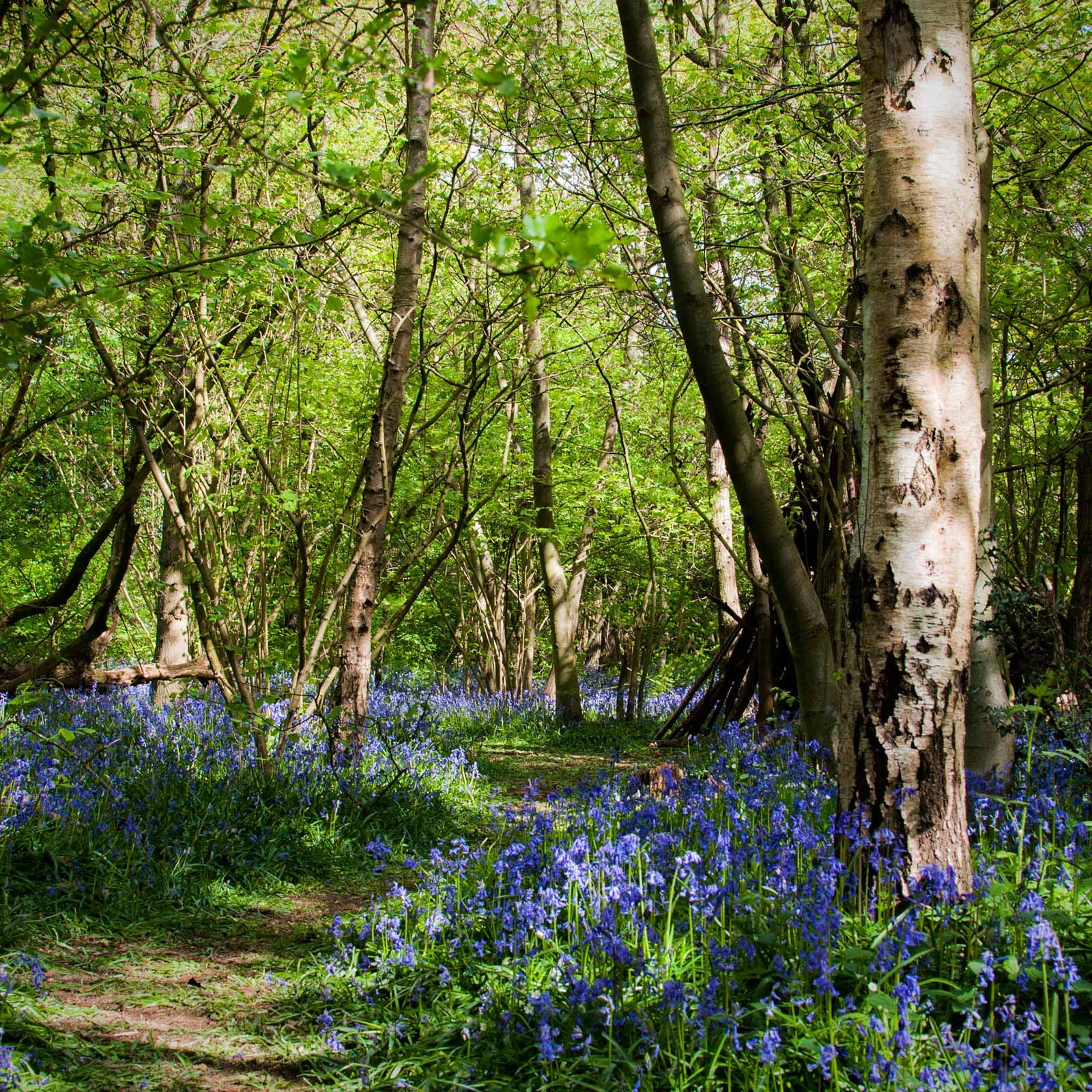 Carpet of fragrant bluebells in English woodland