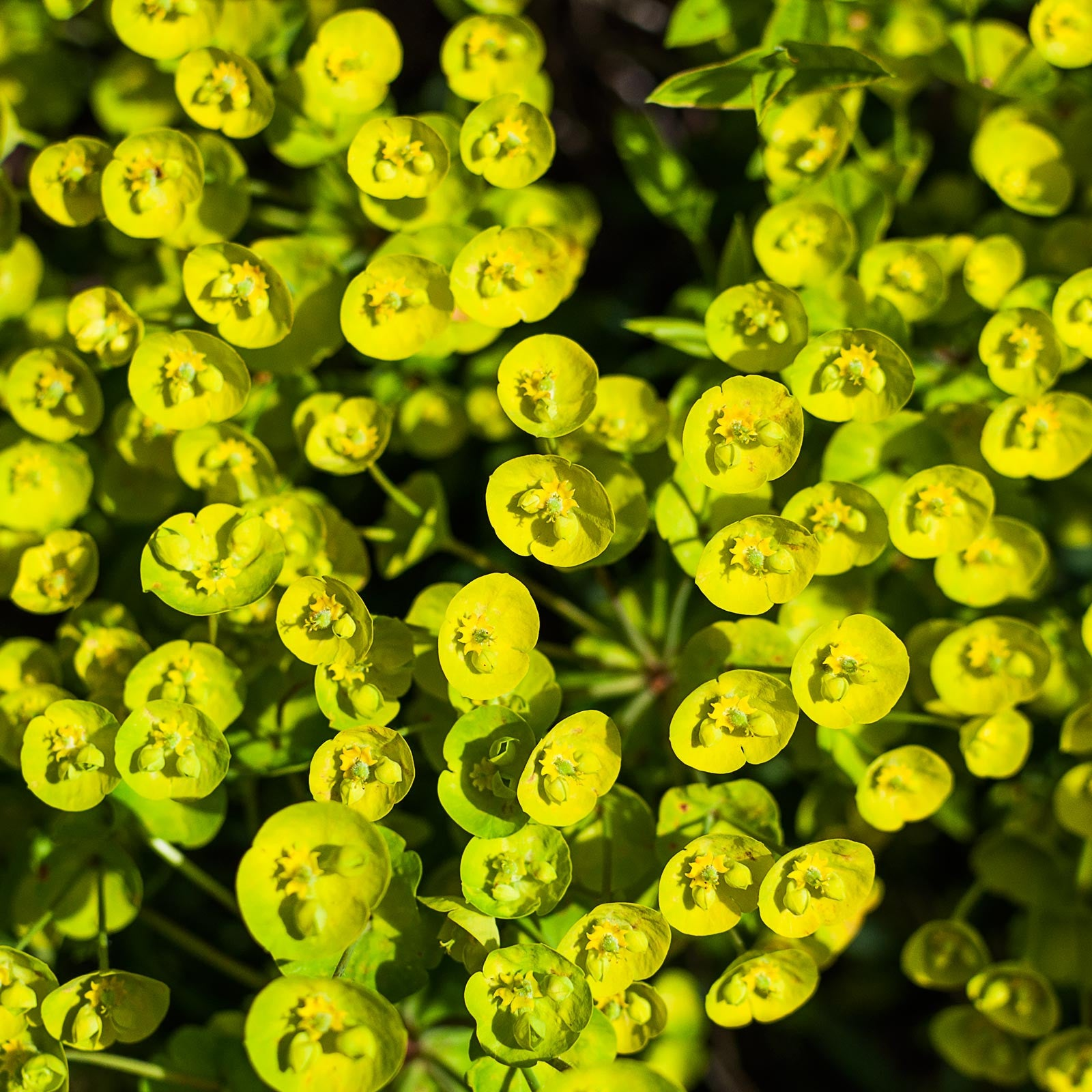 Euphorbia flowers radiant in the sun