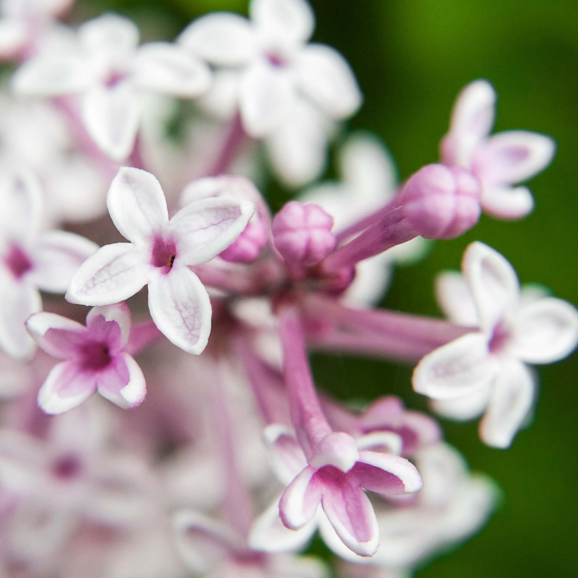 fragrant lilacs in bloom