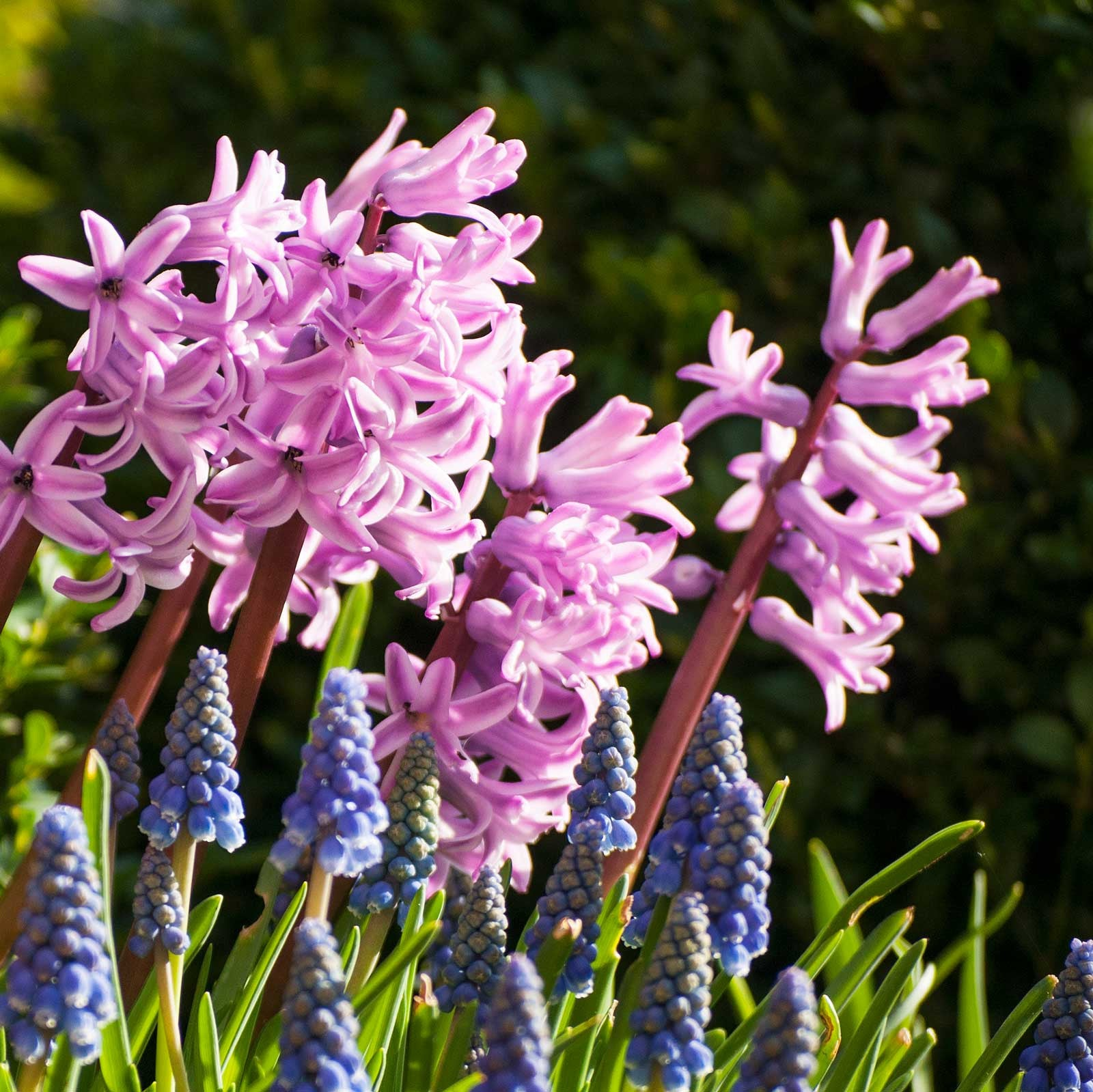 Hyacinths and Muscari perfume inspiration