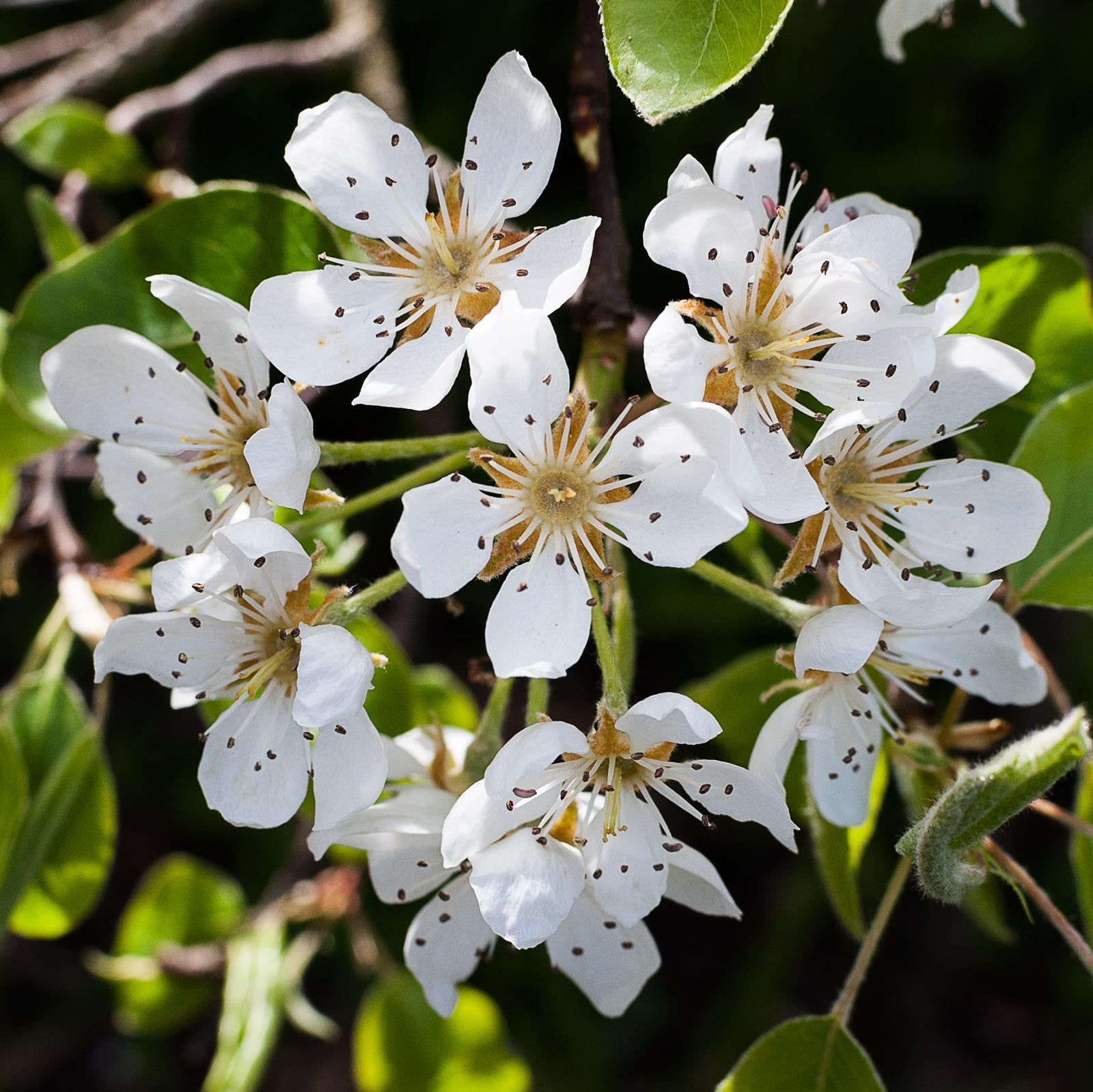 Beautiful pear blossom