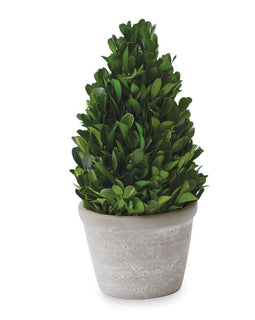 Small Cone Shaped Boxwood in pot