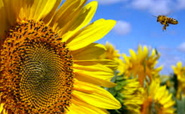 Fun Facts About the Sunflower