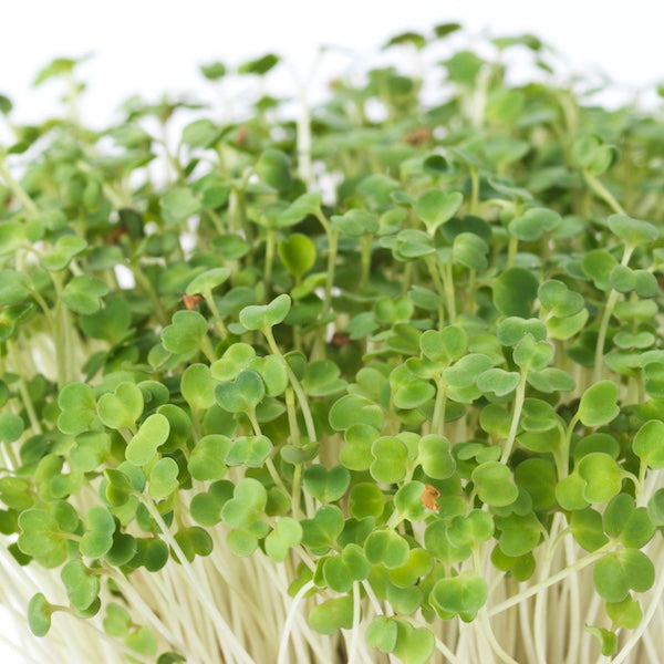 Image of TINY GARDEN - rucola