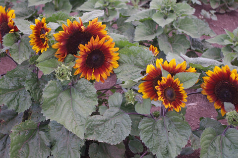 NEW FLEUROSUN DWARF & COMPACT SONNET & LILAC SUNFLOWER HYBRIDS SHINE IN COPSLEY ORNAMENTALS FIELD TRIALS