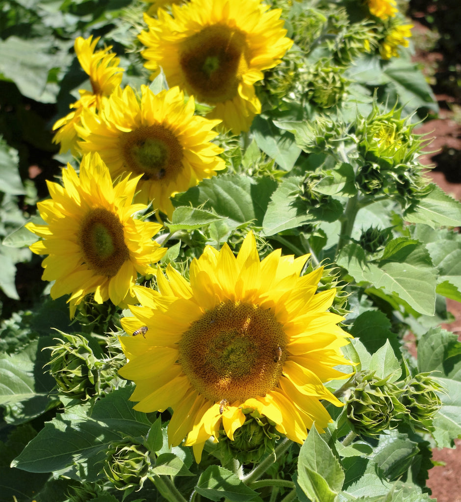 Sunflower Seeds - FleuroSun Compacts - Compact Summer Spray