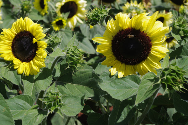 Sunflower Seeds - FleuroSun - Calypso Spray