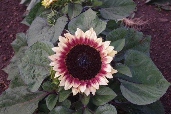 Sunflower Seeds - FleuroSun Compacts - Compact Lilac Spray