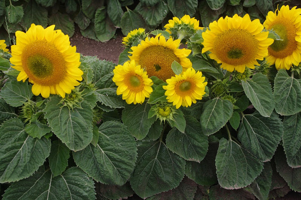 Sunflower Seeds - FleuroSun Dwarfs - Dwarf Summer Spray