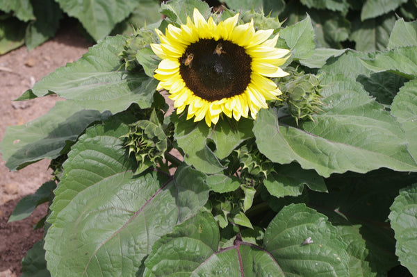 Sunflower Seeds - FleuroSun Dwarfs - Dwarf Calypso Spray
