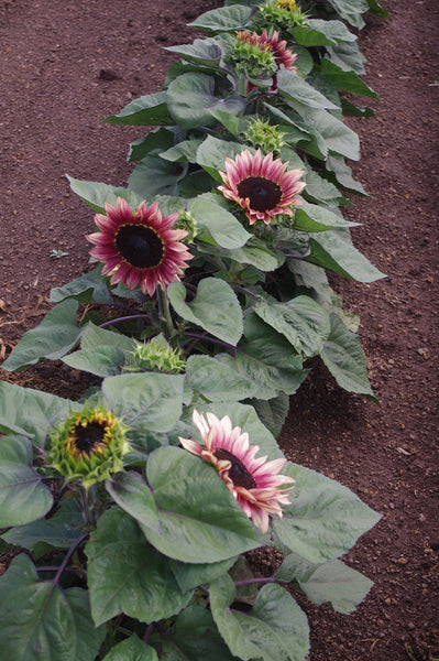 Sunflower Seeds - FleuroSun Dwarfs - Dwarf Lilac Spray