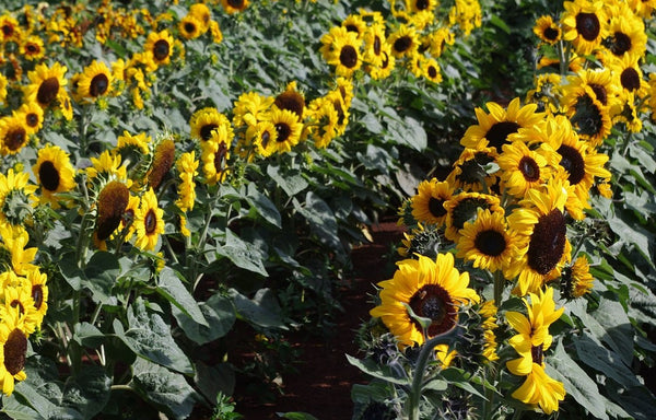 Sunflower Seeds - FleuroSun - Gold Spray