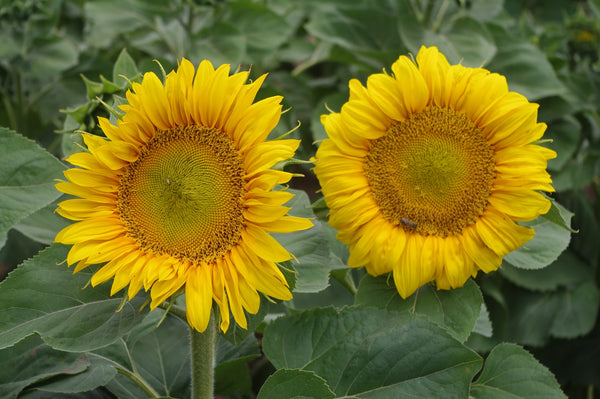 Sunflower Seeds - FleuroSun - Landscape