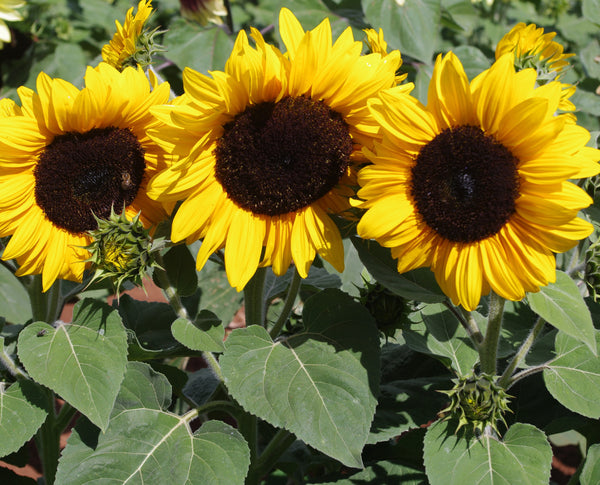 Sunflower Seeds - FleuroSun Compacts - Compact Gold Spray