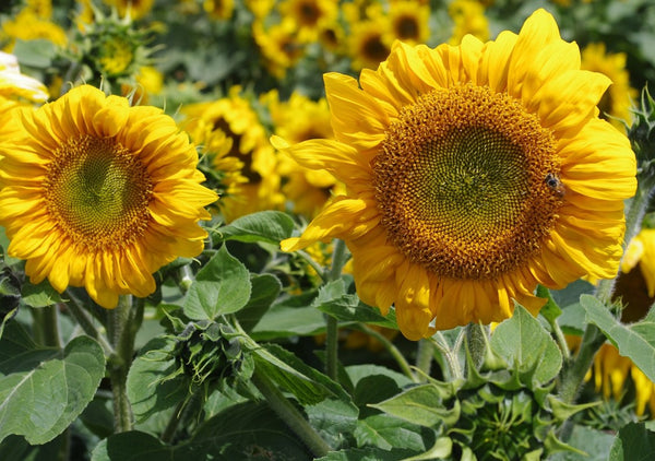 Sunflower Seeds - FleuroSun - Summer Spray