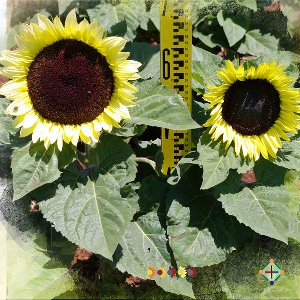 Sunflower Seeds - FleuroSun Compacts - Compact Classic Lime