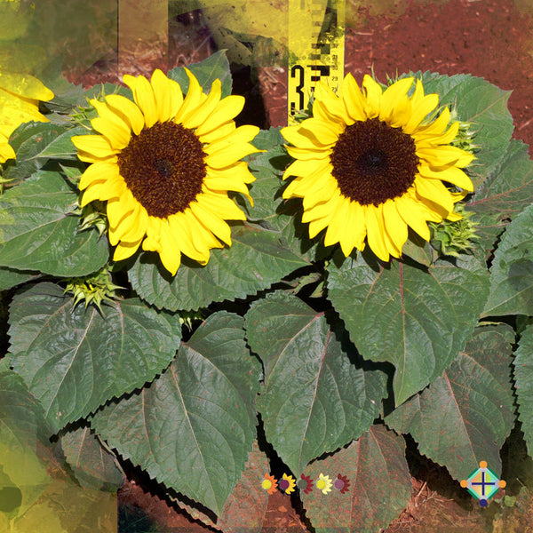 Sunflower Seeds - FleuroSun Dwarfs - Dwarf Gold Spray