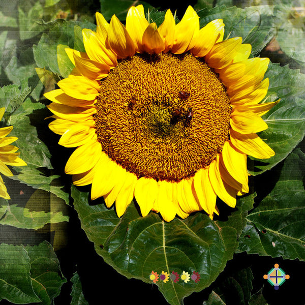 Sunflower Seeds - FleuroSun Compacts - Compact Landscape
