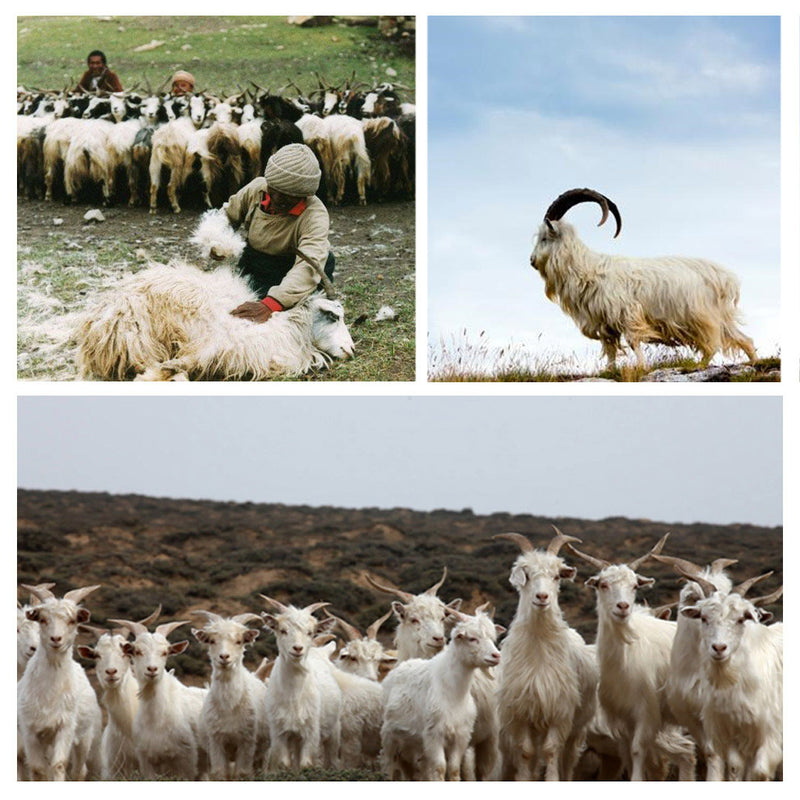 Cashmere Goats in Inner Mongolia