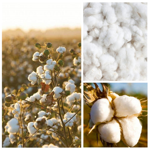 Supima Cotton Plant - 100% American Grown, spun in Manchester, knitted in Leicester