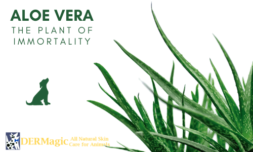 Aloe Vera: The Plant of Immortality