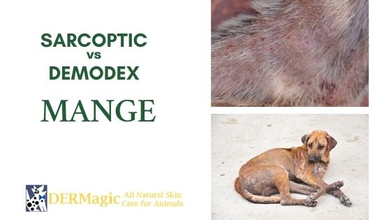 The Difference Between Sarcoptic Mange and Demodex Mange