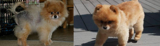 Dog allergies? Or yeast infection; Striker the Pom Story (Black Skin Disease)