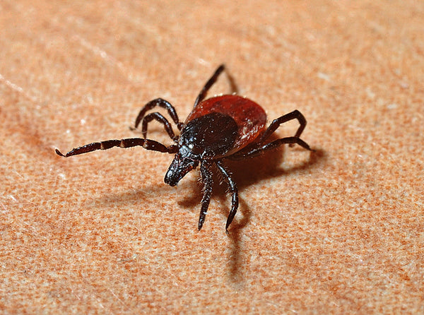 Natural Ways to Protect Your Dog from Ticks