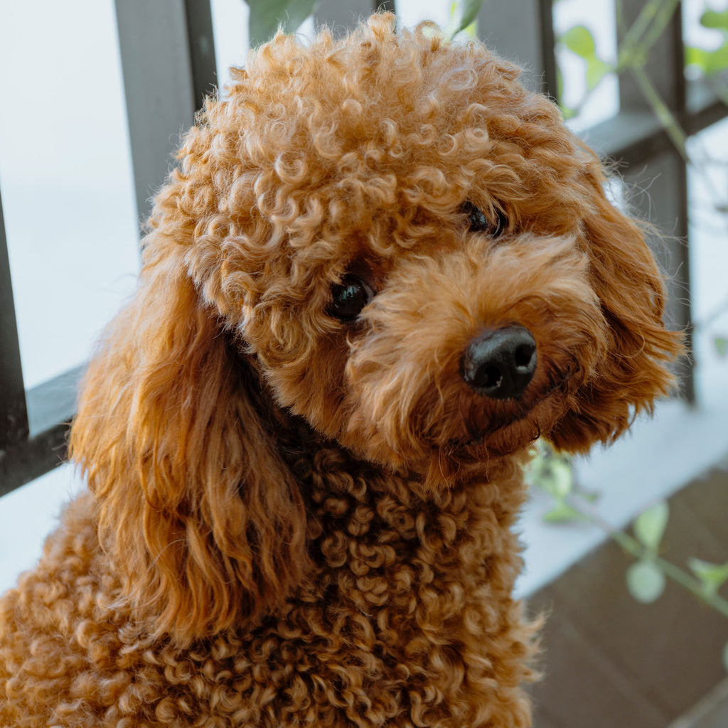What Makes a Dog Hypoallergenic?