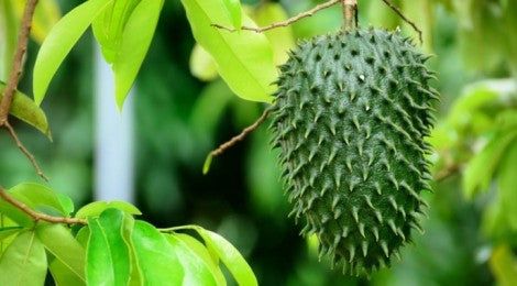 Why Does Soursop Make You Feel So Much Better?