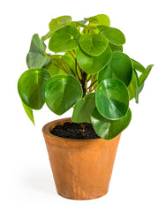 Ornamental Money Plant in Terracotta Pot