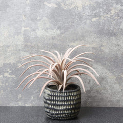The Flower Patch Airplant Purple in Dimpled Pot 17cm