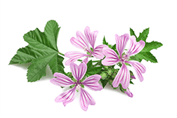 Althaea officinalis (marshmallow) extract