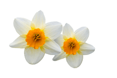 Narcissus tazetta (Narcissus) Bulb Extract