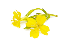 Oenothera biennis (evening primrose) oil