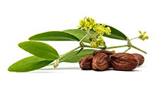 Simmondsia chinensis (jojoba) oil
