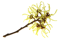 Hamamelis viriginiana (witch hazel) extract