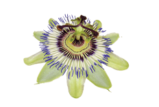 Passiflora incarnata (passion fruit) flower extract
