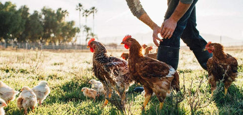 Chickens on the farm at Pasturebird