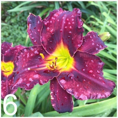 The Daylily Project