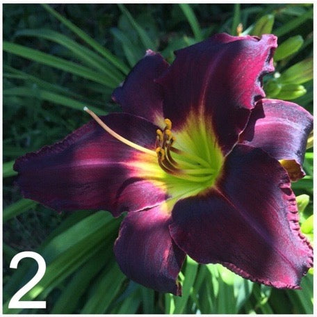 The Daylily Project #7 - Ready to Ship